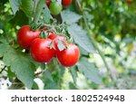 Tomatoes Village Vegetable...
