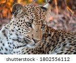 Portrait Of A Leopard Seen On...