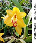 Yellow Cymbidium Orchid Flower...