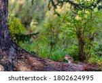 A Small Striped Chipmunk Sits...