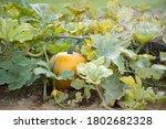 Pumpkin Plant   Pumpkins...