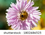 Blooming Alpine Aster Bumble...