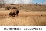 Rhino Baby Drinking Mother's...