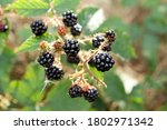 Ripe Blackberries On A Green...
