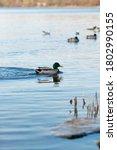 A Beautiful Shot Of Ducks...
