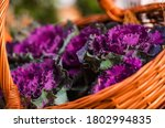 Autumn Decorative Cabbage In A...