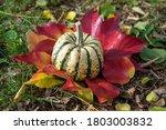 Pumpkin Sweet Dumpling ...
