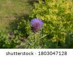 Summer Flowering Purple Flower...