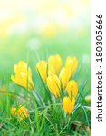 Bouquet of Yellow Crocus Flowers In Spring - stock photo
