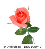 Bunch Of Rosy Roses Isolated O...