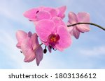 Pink Orchid Flower On The Sky