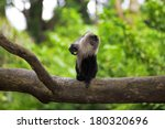 Lion Tailed Macaque Sitting On...