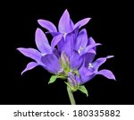 Small photo of A close up of the blue flowers (Campanula cephalotes). Isolated on black.