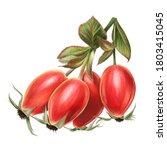 Pretty Rosehips Illustration...
