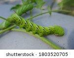 Tomato Hornworm Large...