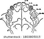 the permanent incisors  molars  ...   Shutterstock .eps vector #1803805015