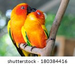 Couple Parrot  Male And Female