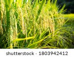 Rice Begins To Mature In Autumn