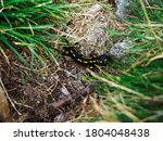 Wild Salamander In The...