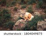 Corsac Fox Cub Sitting In The...