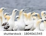 Colony Of Northern Gannet ...