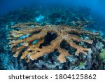 An Elkhorn coral, Acropora palmata, grows on a shallow coral reef in Belize. The reefs of this region are part of the Mesoamerican Barrier Reef, the second largest reef system on Earth.