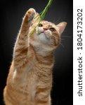 An Orange Cat Scratching Cat...