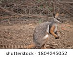 The Yellow Footed Rock Wallaby...