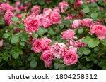 Bush Of Roses On Bright Summer...