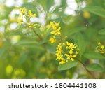 Little Yellow Flower Thryallis...