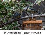Adult Bluetit Feeding A...