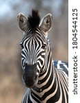 Plains Zebra Photographed In...