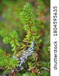 Small photo of macro close up closeup view to crowberry, black crowberry, blackberry (Empetrum nigrum) at summer and sunny weather with green background