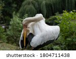 Wild White Ibis Is A Rowing...