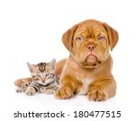 Stock photo bordeaux puppy dog and bengal kitten together isolated on white background 180477515