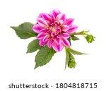Dahlia Flower. Pink Dahlia...