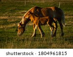 A Mare And Her Colt Grazing In...