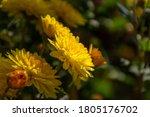 Yellow Chrysanthemums Close  ...