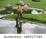 Sitatunga Antelope Drinking...