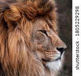 Head Portrait Of Lion Animal....