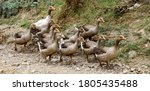 Small photo of A gaggle of geese in the village, Armenia
