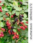 Blackberry Bush With Ripening...