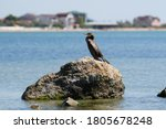 A Great Black Cormorant Sits On ...