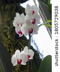 Tropical Orchids. Cymbidium...