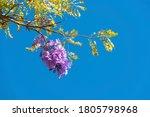 Jacaranda Tree Of The...