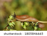 Red Slug  Large Red Slug ...