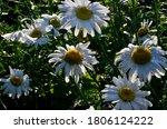 White Daisy With Raindrops Grow ...