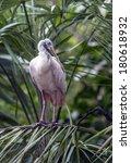 Small photo of Roseate Spoonbill,Platalea ajaja or Ajaia ajaja,Spoonbill, long-legged, wading birds