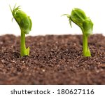 Sprouted Peas In Organic Soil...