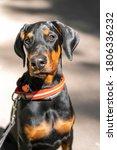 Portrait Of A Doberman Puppy...
